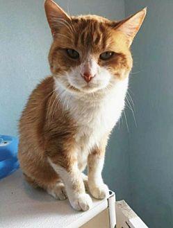 Domestic Shorthair Cat for adoption in Cedar Rapids, Iowa - Cassie