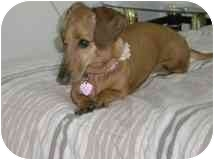 Dachshund Dog for adoption in Jacobus, Pennsylvania - Holly - MD