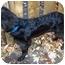 Photo 2 - Flat-Coated Retriever/Labrador Retriever Mix Dog for adoption in Powell, Ohio - Sampson