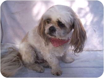 Shih Tzu/Shih Tzu Mix Dog for adoption in Umatilla, Florida - Benjamin