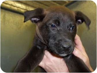 Labrador Retriever Mix Puppy for adoption in Lapeer, Michigan - Junior