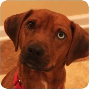 Beagle Mix Dog for adoption in Naperville, Illinois - Emmy Lou