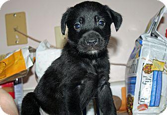Carolina Dog/Labrador Retriever Mix Puppy for adoption in Westfield, Indiana - Chrissy