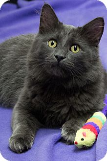 Domestic Mediumhair Cat for adoption in Chicago, Illinois - Plum