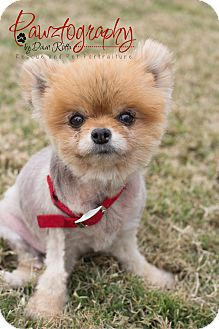 Pomeranian Dog for adoption in Chandler, Arizona - Phoebe