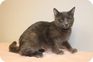 Russian Blue Cat for adoption in Gainesville, Florida - Poptart