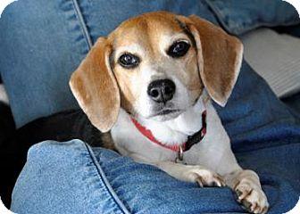 Beagle Mix Dog for adoption in Phoenix, Arizona - Bandit Joe