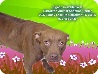 Pit Bull Terrier Mix Dog for adoption in Justin, Texas - Pigeon