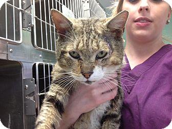 Domestic Shorthair Cat for adoption in Warwick, Rhode Island - Alf