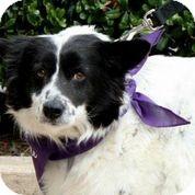 Border Collie Mix Dog for adoption in Austin, Texas - Poochie