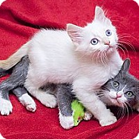 Adopt A Pet :: Lou & Reed - Chicago, IL