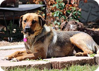 Shepherd (Unknown Type)/Labrador Retriever Mix Dog for adoption in Westminster, Colorado - Amelie