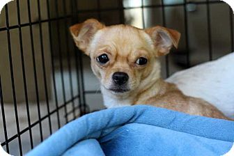 Chihuahua Mix Puppy for adoption in Salem, New Hampshire - PUPPY CANDI