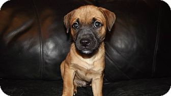 Labrador Retriever/Boxer Mix Puppy for adoption in Huntsville, Tennessee - Jack