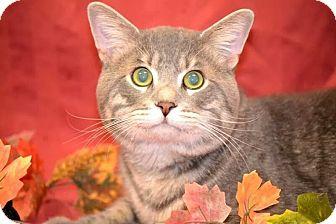 British Shorthair Cat for adoption in Fort Riley, Kansas - Big Lou