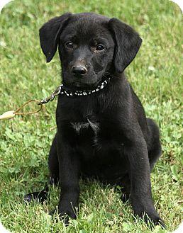 Labrador Retriever Mix Puppy for adoption in Windham, New Hampshire - Izzy
