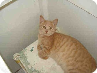 Domestic Shorthair Cat for adoption in Fort Walton Beach, Florida - George