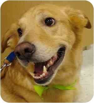 Labrador Retriever/Golden Retriever Mix Dog for adoption in Houston, Texas - Charlie