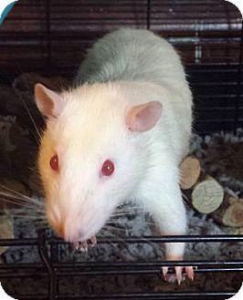 Rat for adoption in St. Paul, Minnesota - Magneto