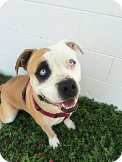 American Bulldog Mix Dog for adoption in Redding, California - Luigi--look at those eyes