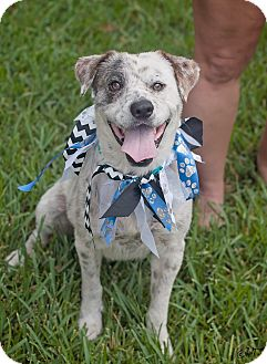 Australian Cattle Dog/Australian Shepherd Mix Dog for adoption in Kingwood, Texas - Tyrion