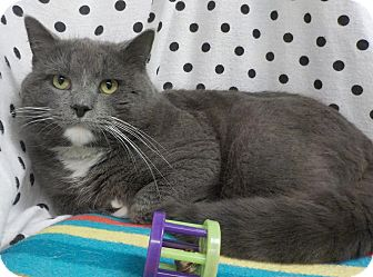 Domestic Shorthair Cat for adoption in Waldorf, Maryland - Colonel Custer