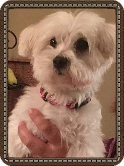 Maltese Dog for adoption in San Diego, California - Mia
