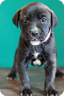 Shepherd (Unknown Type) Mix Puppy for adoption in Waldorf, Maryland - Cassidy