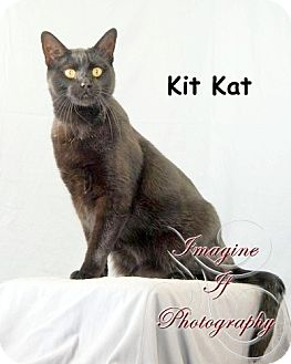 Colorpoint Shorthair Cat for adoption in Oklahoma City, Oklahoma - Kit Kat