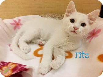 Domestic Shorthair Kitten for adoption in Foothill Ranch, California - Fitz