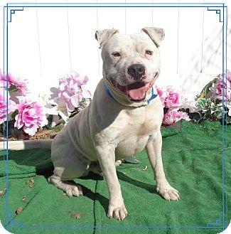 American Bulldog Mix Dog for adoption in Marietta, Georgia - CHUBBS