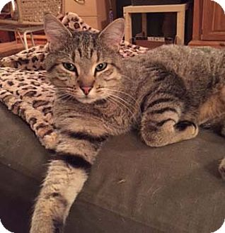 Domestic Shorthair Cat for adoption in Merrifield, Virginia - Squanto