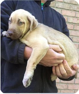 American Bulldog/Labrador Retriever Mix Puppy for adoption in Island Park, New York - Snow