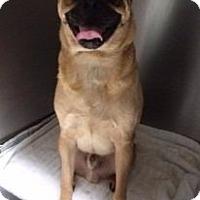 Adopt A Pet :: Shrek - Austin, TX