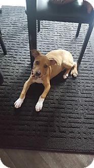 Labrador Retriever/Shepherd (Unknown Type) Mix Puppy for adoption in DeForest, Wisconsin - Wiggles