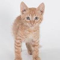 Domestic Shorthair/Domestic Shorthair Mix Cat for adoption in Savannah, Georgia - Sergeant Tibbs