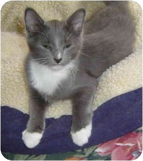 Domestic Mediumhair Kitten for adoption in Montevallo, Alabama - Felix