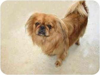 Tibetan Spaniel Mix Dog for adoption in McDonough, Georgia - Oakley