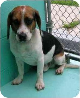 Beagle Dog for adoption in Waldorf, Maryland - Rudy