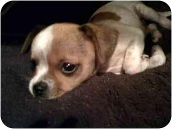 Chihuahua Mix Puppy for adoption in San Diego, California - Pretzel