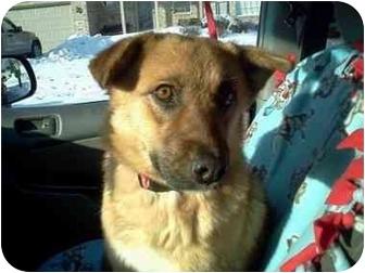 Sheltie, Shetland Sheepdog/Shepherd (Unknown Type) Mix Dog for adoption in Plainfield, Illinois - Sienna