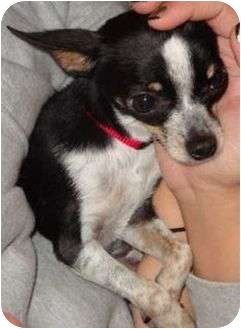 Chihuahua Dog for adoption in Harrisonburg, Virginia - Skipper