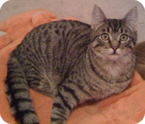 Domestic Shorthair Cat for adoption in Maple Ridge, British Columbia - Hulk