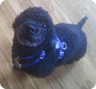 Poodle (Toy or Tea Cup) Dog for adoption in Essex Junction, Vermont - Pepper
