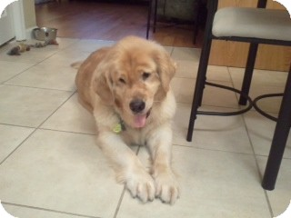 Golden Retriever Dog for adoption in Brattleboro, Vermont - Sami
