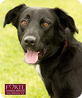 Labrador Retriever/Border Collie Mix Dog for adoption in Marina del Rey, California - Holly