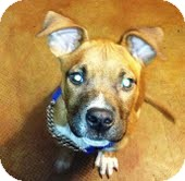 American Staffordshire Terrier Mix Puppy for adoption in justin, Texas - Colby