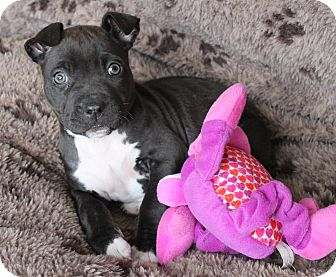 Staffordshire Bull Terrier/Pit Bull Terrier Mix Puppy for adoption in La Habra Heights, California - Bonnie