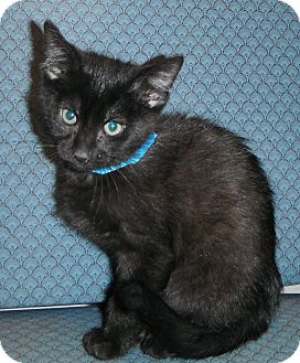 Domestic Shorthair Kitten for adoption in Jackson, Michigan - Google