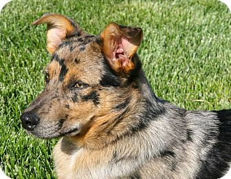 Australian Shepherd/Blue Heeler Mix Dog for adoption in Bedford, Virginia - Porter